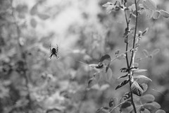 DSCF2238 (jpeg86) Tags: spider takumar pentax jpeg fujifilm