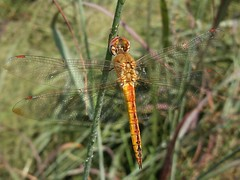 Wandering Glider (rstickney37) Tags: odonata odonate dragonfly northcarolinaodonates northcarolinadragonflies