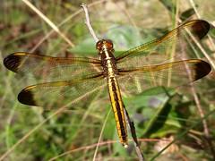 Yellow-sided Skimmer female (rstickney37) Tags: odonata odonate dragonfly northcarolinaodonates northcarolinadragonflies