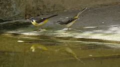 Grey Wagtails (2/2) : Junior and Dad (Franck Zumella) Tags: waterfall wagtail yellow bergeronnette jaune riviere chute eau water bird oiseau nature animal wildlife blanc gris grey white portrait cascade iso high junior dad fish poisson food