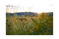 Between summer and fall (balu51) Tags: morgenspaziergang morgen sonnenaufgang gräser tau wassertropfen morning morningwalk sunrise grasses waterdrops dew august 2019 copyrightbybalu51