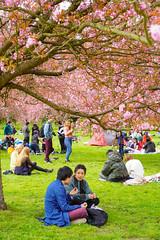Hanami in Parc de Sceaux (jmarnaud) Tags: france paris 2019 family spring sceaux park cherry blossom people walk flower sakura hanami china asia