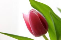 Tulip (JULIANA LEFTEROVA) Tags: flower tulip blossom portait nature naturalbeauty