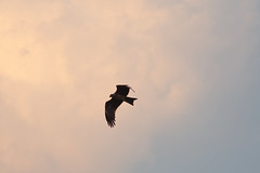 Kite (NA.dir) Tags: telephoto birds evening shootout nikon d7200 dslr flight bif birdsinflight kite 24120mmf4 nikkor gold ring