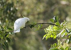 A Small Snack (rankenhohn59) Tags: bird cockatoo animal australian native nature wildlife woodland