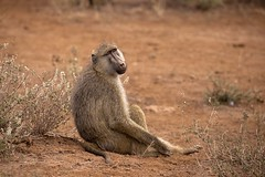 Lazy days - EXPLORED (Sept 18, 2019) (JD~PHOTOGRAPHY) Tags: yellowbaboon baboon animal animalsinthewild wild wildlife wildlifeportrait kenya africanwildlife africa nature ngc canon canon6d