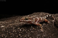 Cyrtodactylus tuberculatus (Cooktown ring-tailed gecko) (Tom Frisby) Tags: gecko reptile animal australia fauna wildlife qld