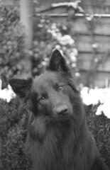 Totoro (Jos Mecklenfeld) Tags: totoro dutchshepherd dutchshepherddog hollandseherder hollandseherdershond holländischerschäferhund shepherd shepherddog herder herdershond schäferhund dog hund hond minoltax700 minoltamdrokkor45mm minoltamdrokkor minoltamdrokkor45mm12 minoltamdrokkor45mmf20 rolleirpx400 rollei rpx400 epsonv500 film expiredfilm ishootfilm analog analogue monochrome bw