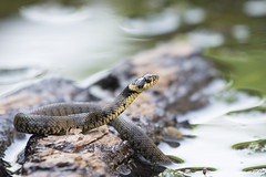 GRASS SNAKE (Neil Shaw Images) Tags: