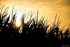 Stalking the silhouettes.... (Joe Hengel) Tags: stalkingthesilhouettes silhouette silhouettes milton miltonde delaware de lsd lowerslowerdelaware sussexcounty corn cornfield cornstalks sunrise sun sunlight summer summertime sunglare watchingthesunrise morning morninglight goodmorning farm field