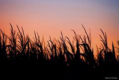 Sherbet sunset.... (Joe Hengel) Tags: sherbetsunset lowerslowerdelaware lsd lewesde lewes delaware de darkness silhouette silhouettes sussexcounty corn cornfield cornstalks farm field eveninglight eveningskies evening watchingthesunset sunset colors