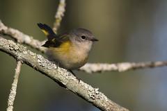 (The Transit Photographer) Tags: rideautrail trailhead marshlandsconservationarea birds fallmigration warblers americanredstart female