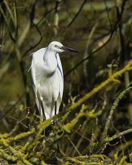 Little Egret F00825 Burton Mere D210bob DSC_7520 (D210bob) Tags: littleegret f00825 burtonmererspbd210bob dsc7520 nikond7200 birdphotography birdphotos naturephotography naturephotos nikon wildlifephotography cheshire nikon200500f56 rspb