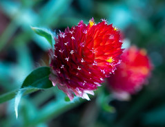 Flor roja (Guangzhou, China. Gustavo Thomas © 2019) (Gustavo Thomas) Tags: flor fleur flower fiore roja red rouge rosso nature garden beauty macro leica colour china