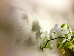 Orchid and shadow (kuratormkl) Tags: pretty abstract orchid flowers lightandshadow tenderness beauty beautifulphotos white pink cream yourshot