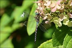 Libellule en septembre Dragonfly in september (P Nicole) Tags: libellule dragonfly nature septembre september