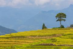_Y2U4278.0919.Choẻn Thèn.Y Tí.Bát Xát.Lào Cai (hoanglongphoto) Tags: asia asian vietnam northvietnam northernvietnam northeastvietnam landscape scenery vietnamlandscape vietnamscenery yilandscape terraces terracedfields terracedfieldsinvietnam harvest seasonharvest tree mountain flanksmountain tophill sky cloud canon canoneos1dx canonef70200mmf28lisiiusm đôngbắc làocai bátxát ytí choẻnthèn phongcảnh ruộngbậcthang ruộngbậcthangytí ytímùalúachín ytímùagặt đỉnhđồi cây sườnnúi núi bầutrời mây