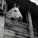 Stables - Grey horse 2 (35mm Kodak Tri-X 400 in Finol)