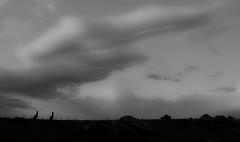 Two Kangaroos and a Soft Sky (david_john_lee) Tags: kangaroos blackandwhite canberra australia farm sunset