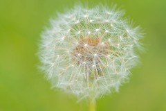 Dandelion (Taraxacum officianale) (JordanNaturePht) Tags: tokina100mmmacro tokina earth wild nikond7200 nikon green nature wildflower plants flowers dandelion taraxacumofficianale