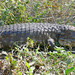 Paraguay Caiman Lizard (Dracaena paraguayensis)