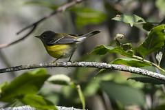 (The Transit Photographer) Tags: rideautrail trailhead marshlandsconservationarea birds fallmigration warblers magnoliawarblers