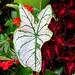 Calladium leaf, with Coleus, Berea College