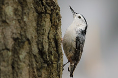 White Breasted Nuthatch (mnolen2) Tags: nuthatch breasted whitebreasted bird nature wildlife