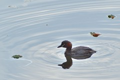 Duck ripples (Abhay Parvate) Tags: duck bird water ripples waves reflection clearsky nature kudanshita 九段下 北の丸公園 kitanomarupark