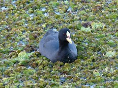 Gallineta ligas rojas -Fulica armillata- (Red-gartered coot). RECS (mauricio.tibaldo) Tags: aves birds
