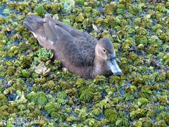 Pato picazo, hembra -Netta peposaca- (Rosy-billed pochard, female). RECS (mauricio.tibaldo) Tags: aves birds