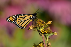 MonarchPink1 (2)Small (Rich Mayer Photography) Tags: monarch viceroy butterfly insect insects animal animals nature flower flowers wild life wildlife nikon
