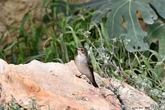 (Enllasez - Enric LLaó) Tags: papamoscascerrojillo aves aus bird birds ocells pájaros 2019 torredendolça