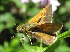Tawny-edge skipper (Polites themistocles), male (tigerbeatlefreak) Tags: polites themistocles tawnyedge skipper insect butterfly lepidoptera hesperiidae nebraska