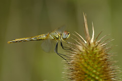 La libellule et le chardon (jpto_55) Tags: insecte libellule chardon proxi bokeh xt20 fuji fujifilm kiron105mmf28macro kironlens hautegaronne france ngc flickrunitedaward