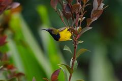 Olive-Backed Sunbird (jeremyhughes) Tags: singapore sunbird olivebackedsunbird bird cinnyrisjugularis yellowbelliedsunbird avian garden bokeh nikon d7000 300mm 300mmf4afs teleconverter tc14ell telephoto