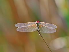 Dragonfly (bobstein@ymail.com) Tags: macro nikon dragonfly nikon300mmf4 nikond300