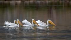 American White Pelican (Pelecanus erythrorhynchos) (rangerbatt) Tags: animal lake water bird waterfowl sigma150600mmsports d7500 nikon utahwildlife wildutah greatsaltlakewetlands pelicans pelecanuserythrorhynchos americanwhitepelicans explored