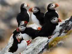 Puffins (thomas.reissnecker) Tags: natgeo polar arctic svalbard birds nature puffin puffins
