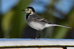 Pied Wagtail (motacilla alba yarrellii) (Brian Carruthers-Dublin-Eire) Tags: pied wagtail piedwagtail motacillaalbayarrellii motacilla alba yarrellii bergeronnettedeyarrell trauerbachstelze lavanderadeyarrell ballerinanera rouwkwikstaart passeriformes motacillidae bird outdoor animal flycatcher flycatchers animalia aves avian nature wildlife ireland eíre outdoors birdwatch birdwatchfb birdwatching birdwatchireland creature common irish capeclear cape clear