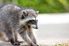 Rocky Raccoon (Thomas Hawk) Tags: america animal bayarea california eastbay piedmont racoon sfbayarea us usa unitedstates unitedstatesofamerica westcoast raccoon