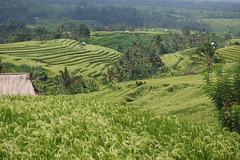 Jatiluwih rice terraces (sandorson) Tags: bali indonesia indonézia jatiluwih rice terrace sandorson