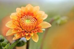 Orange Dahlia (lfeng1014) Tags: orangedahlia dahlia flower flowermacro macro macrophotography closeup bokeh depthoffield dof canon5dmarkiii ef100mmf28lmacroisusm lifeng