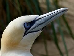 Basstölpel (BrigitteE1) Tags: zam basstölpel gannet morusbassanus bird portrait blue white orange specanimal
