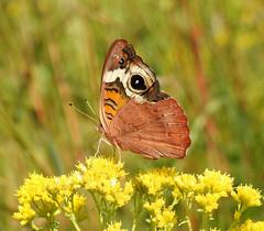 Common Buckeye (Junonia coenia) - Rosa or Fall Form (annette.allor) Tags: