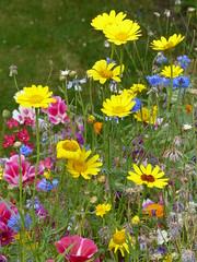 Bee-Buffet (Marit Buelens) Tags: flowers mix seed vibrant bright colour green yellow blue pink cornflower centaureacyanus clarkia insects flowerbed garden summer