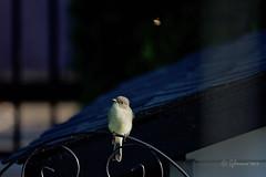 Juvenile Eastern Phoebe/Moucherolle phébi (Sayornis phoebe) & Meal (Jeannot7) Tags: juvenile easternphoebe moucherollephébi sayornisphoebe bird backyard birdwatcher cobourg ontario
