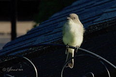 Juvenile Eastern Phoebe/Moucherolle phébi (Sayornis phoebe) Sunning (Jeannot7) Tags: juvenile easternphoebe moucherollephébi sayornisphoebe bird backyard birdwatcher cobourg ontario