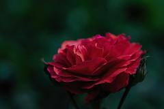 For a Lifetime (><Nessa><) Tags: park lighting red ontario flower macro green rose garden outside niagarafalls petals bokeh lowkey botanicalgarden copyrightvanessabartosek