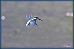 Martin-Pêcheur vol stat 190917-02-P (paul.vetter) Tags: oiseau ornithologie ornithology faune animal bird martinpêcheur alcedoatthis eisvogel kingfisher